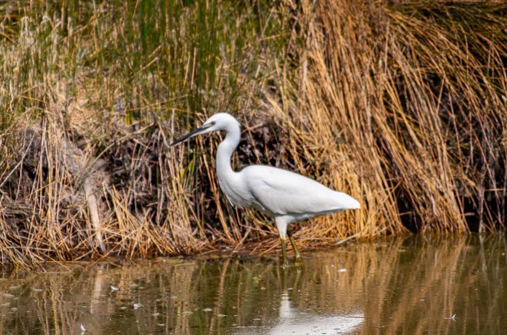 Sortie à la réserve ornithologique du Teich - 24 août 2018 _igp5012