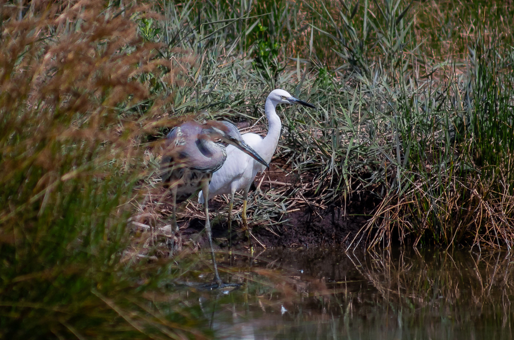 Sortie à la réserve ornithologique du Teich - 24 août 2018 _igp5014