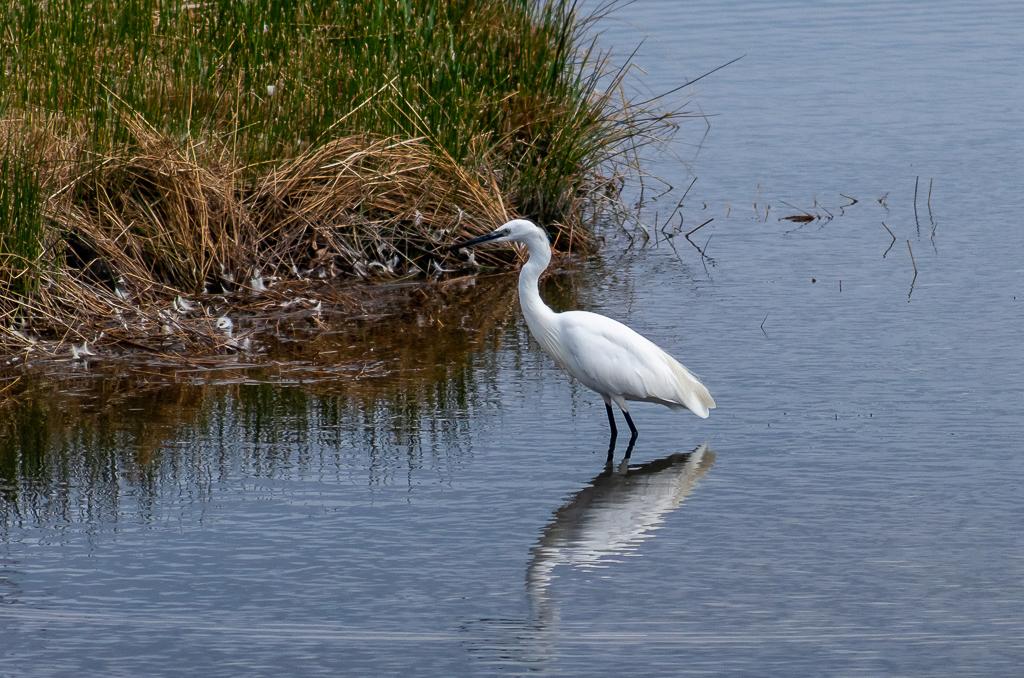 Sortie à la réserve ornithologique du Teich - 24 août 2018 - Page 2 _igp5017