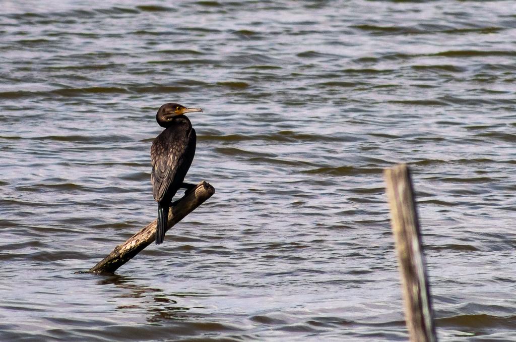 Sortie à la réserve ornithologique du Teich - 24 août 2018 - Page 2 _igp5019