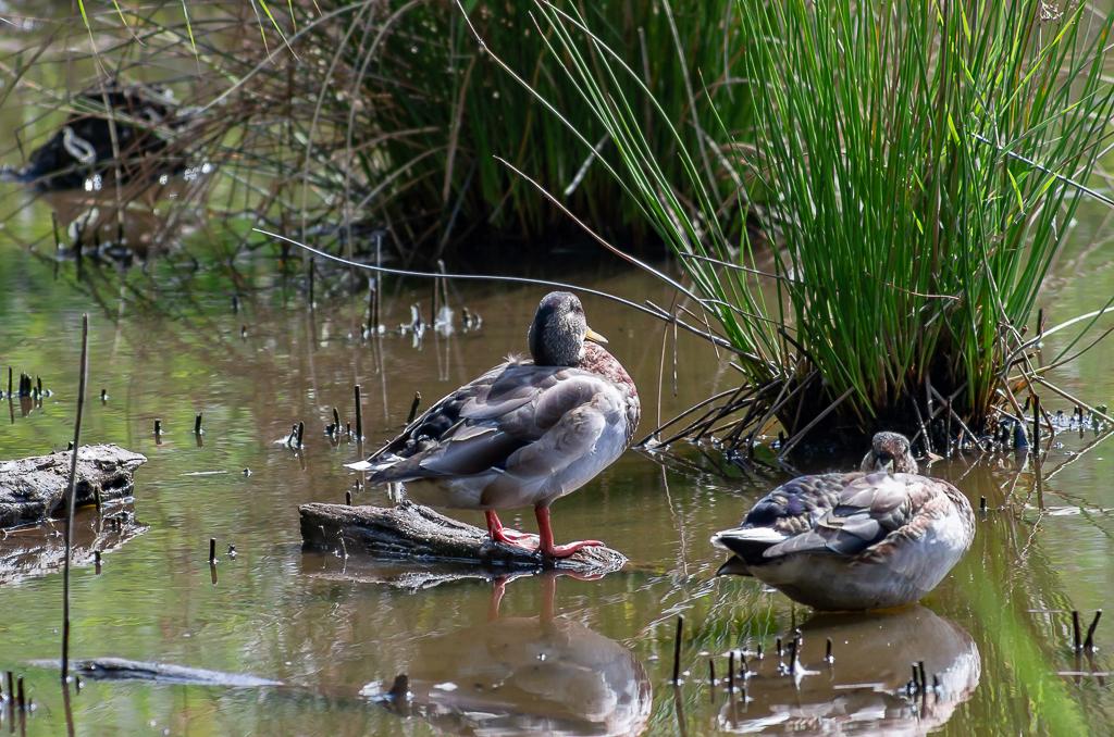 Sortie à la réserve ornithologique du Teich - 24 août 2018 - Page 2 _igp5020