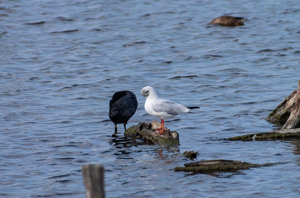 Sortie à la réserve ornithologique du Teich - 24 août 2018 - Page 3 _igp5112