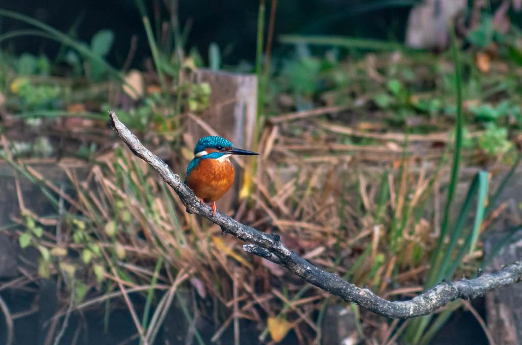 Sortie Réserve Ornithologique du Teich - 21 octobre 2018 _igp5115