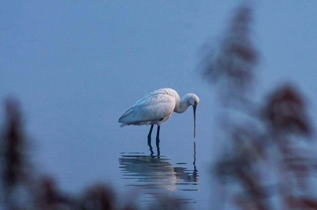 Sortie Réserve Ornithologique du Teich - 21 octobre 2018 _igp5117