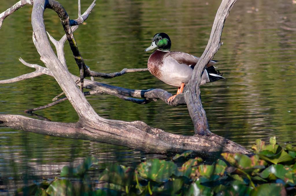 Sortie Réserve Ornithologique du Teich - 21 octobre 2018 - Page 6 _igp5217