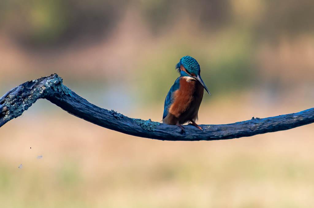 Sortie Réserve Ornithologique du Teich - 21 octobre 2018 - Page 6 _igp5219