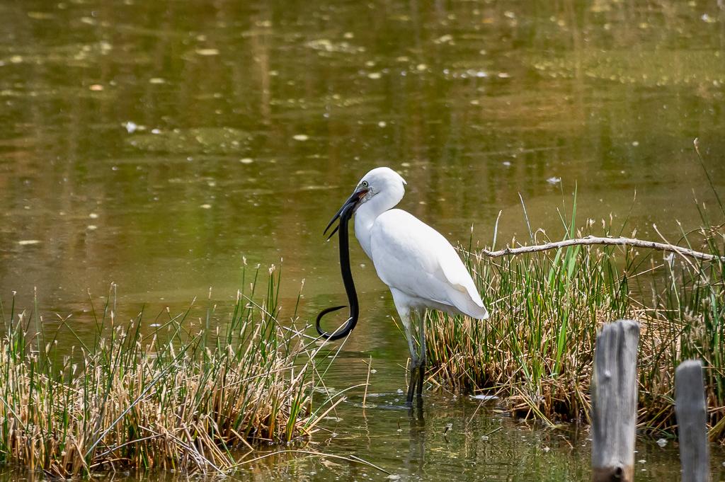 Sortie à la réserve ornithologique du Teich - 24 août 2018 - Page 2 _img7411
