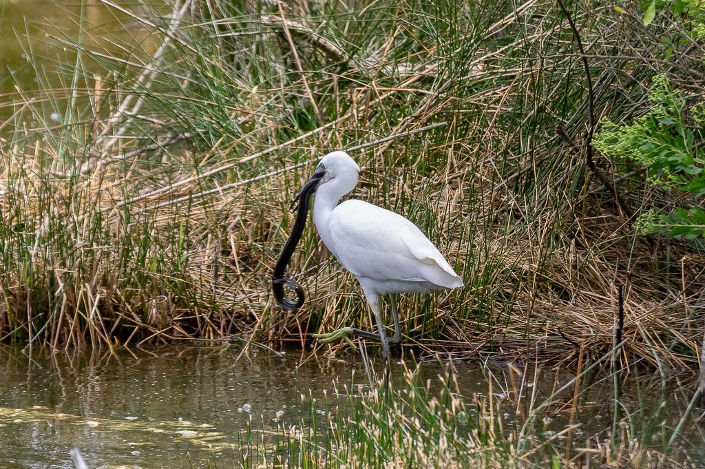 Sortie à la réserve ornithologique du Teich - 24 août 2018 - Page 2 _img7412
