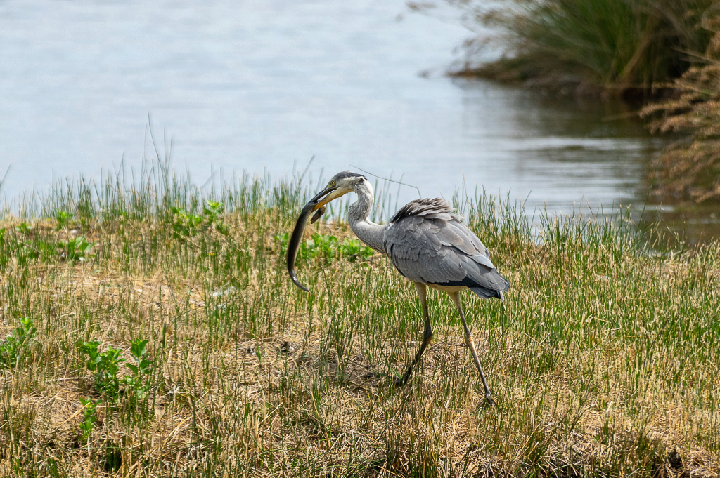 Sortie à la réserve ornithologique du Teich - 24 août 2018 - Page 4 _img7416