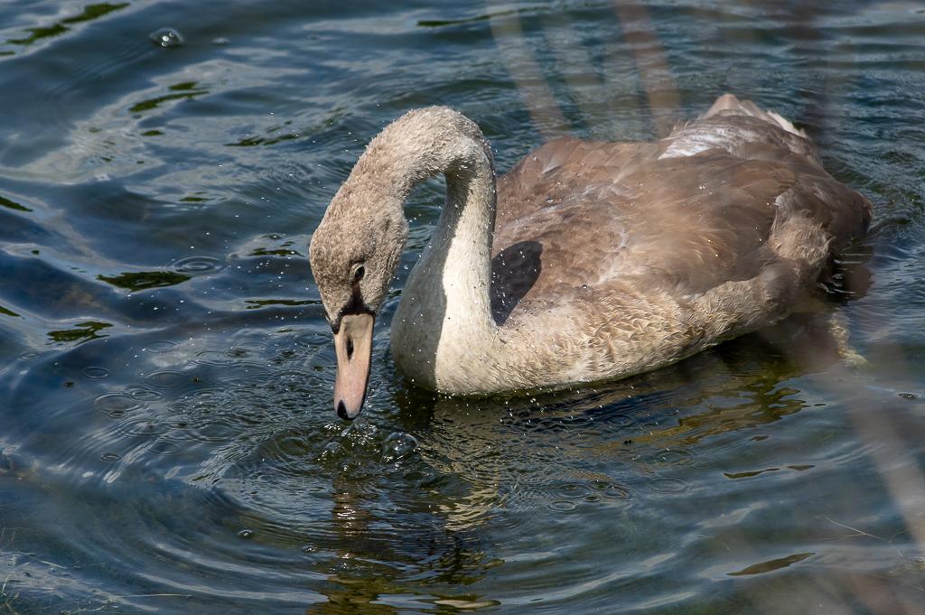 Sortie à la réserve ornithologique du Teich - 24 août 2018 - Page 5 _img7420