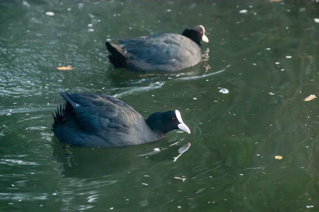 Sortie Réserve Ornithologique du Teich - 21 octobre 2018 _img7913
