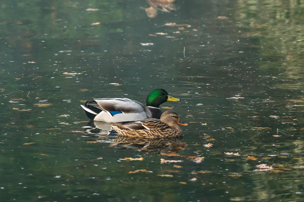 Sortie Réserve Ornithologique du Teich - 21 octobre 2018 _img7914