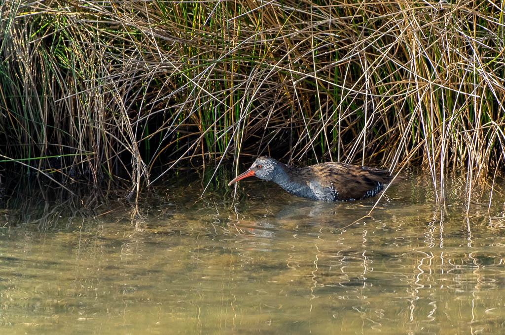 Sortie Réserve Ornithologique du Teich - 21 octobre 2018 - Page 5 _img8020