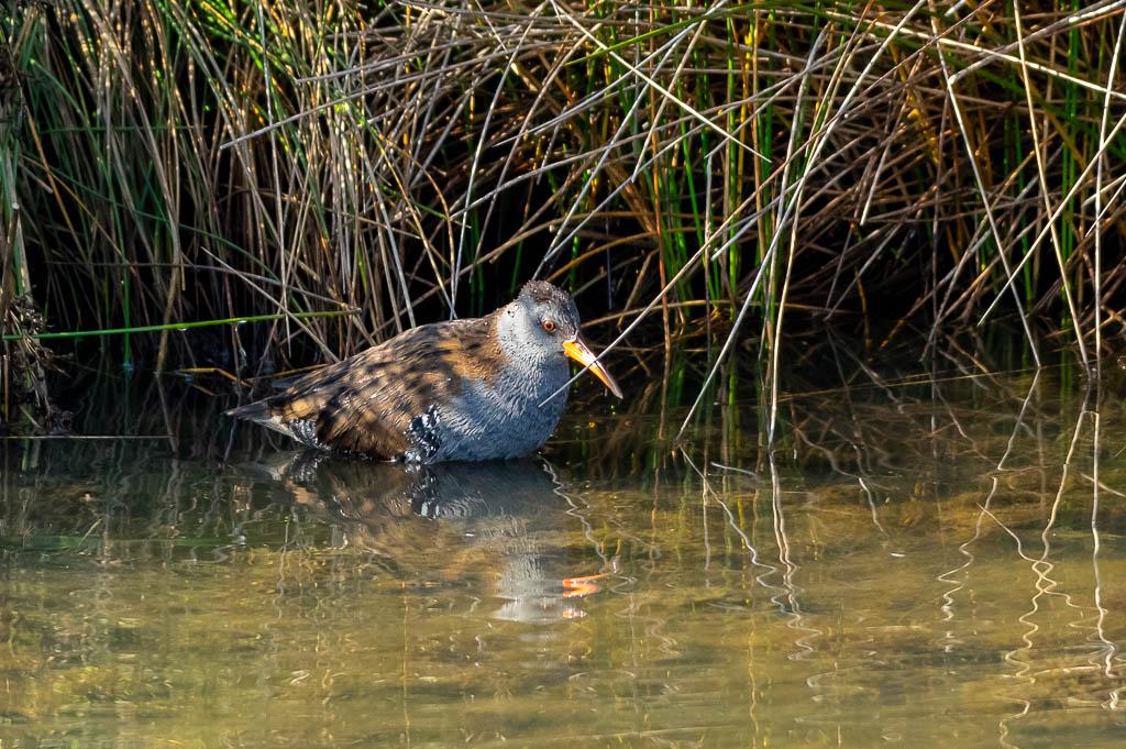 Sortie Réserve Ornithologique du Teich - 21 octobre 2018 - Page 5 _img8021