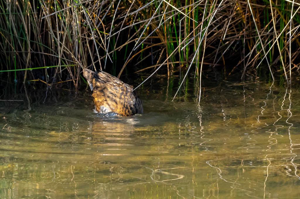 Sortie Réserve Ornithologique du Teich - 21 octobre 2018 - Page 5 _img8022