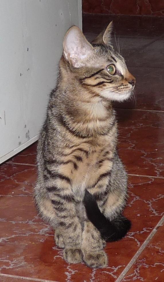 URGENCE POUR PEPSI - jeune chat mâle tigré un peu timide Pepsi_10