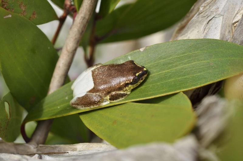 Grenouilles de Madagascar _jyg4611