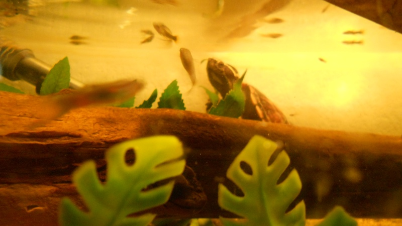 Mes Kinosternidae Dscn0013