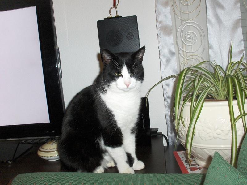Trouvé chat noir et blanc à Toulouse Purpan Chat_a10