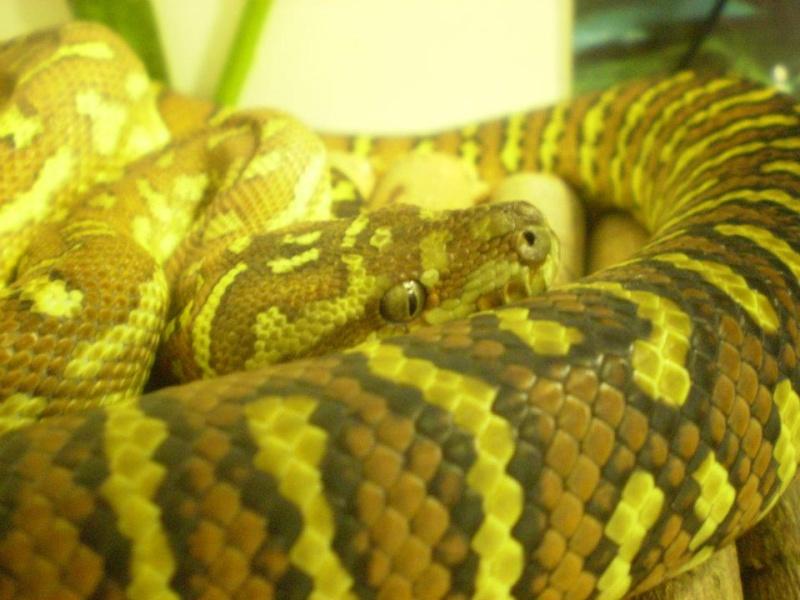 Calypso, python morelia bredli (3ans) 56427210
