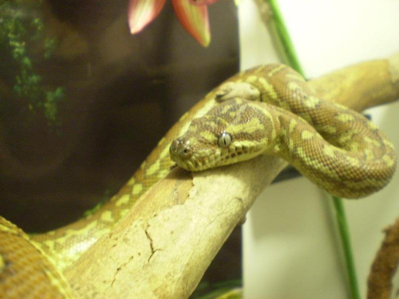 Calypso, python morelia bredli (3ans) 57539711