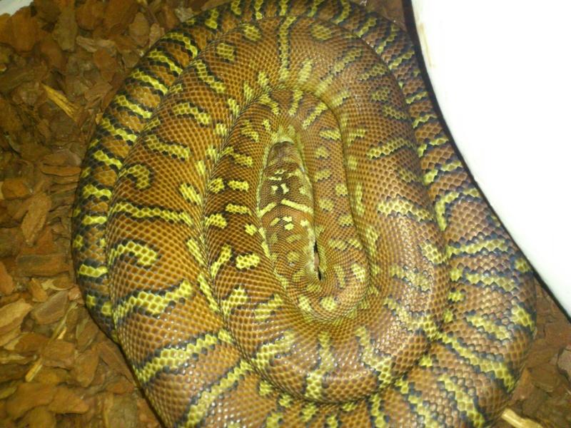 Calypso, python morelia bredli (3ans) Dsc_0114