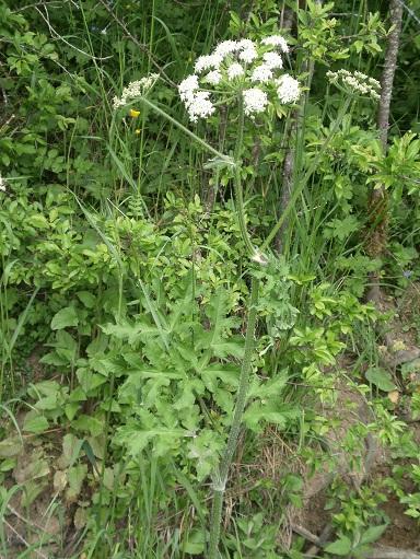 [Plantes] Reconnaitre les toxiques et mortelles Berce10
