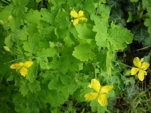 [Plantes] Reconnaitre les toxiques et mortelles Chalid10