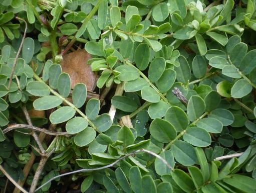 [Plantes] Reconnaitre les toxiques et mortelles Coroni11