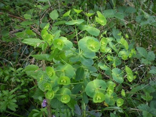 [Plantes] Reconnaitre les toxiques et mortelles Euphor10
