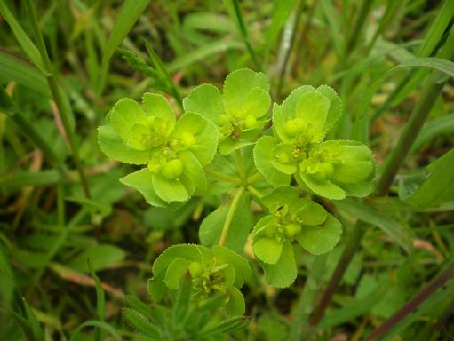 [Plantes] Reconnaitre les toxiques et mortelles Euphor11