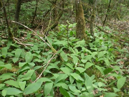 [Plantes] Reconnaitre les toxiques et mortelles Muget10