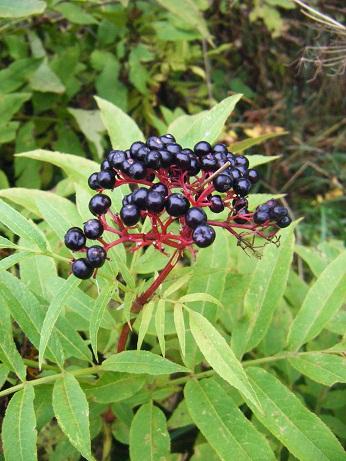 [Plantes] Reconnaitre les toxiques et mortelles Sureau10