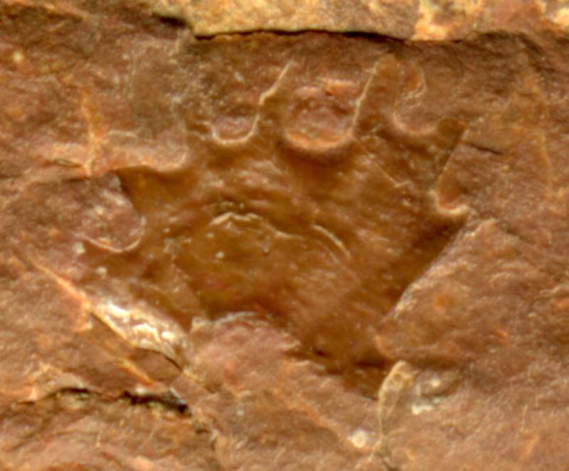 Rhodeites  Urnatopteris   Img53110