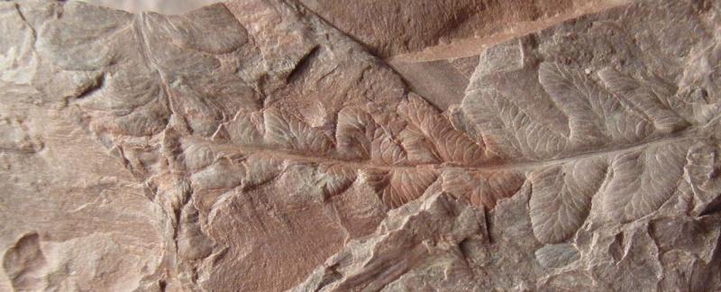 Rhodeites  Urnatopteris   Sam_0211