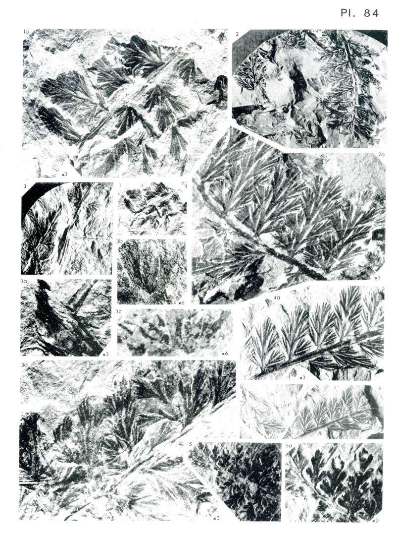 Rhodeites  Urnatopteris   Spheno17