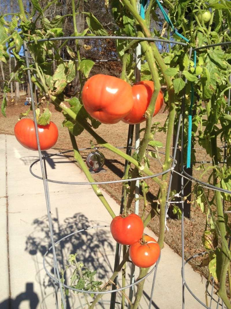 Tomato Tuesday in the Mid South Tomato11