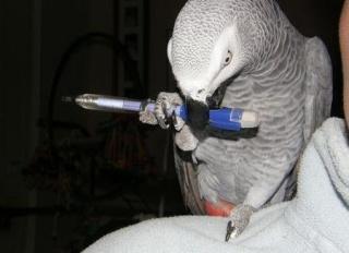"""attention arnaque : """"Coco, le perroquet gris du Gabon"""" !!! 9d3cb110"""