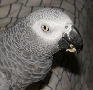 """attention arnaque : """"Coco, le perroquet gris du Gabon"""" !!! C1237410"""
