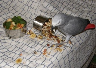 """attention arnaque : """"Coco, le perroquet gris du Gabon"""" !!! E66cb110"""