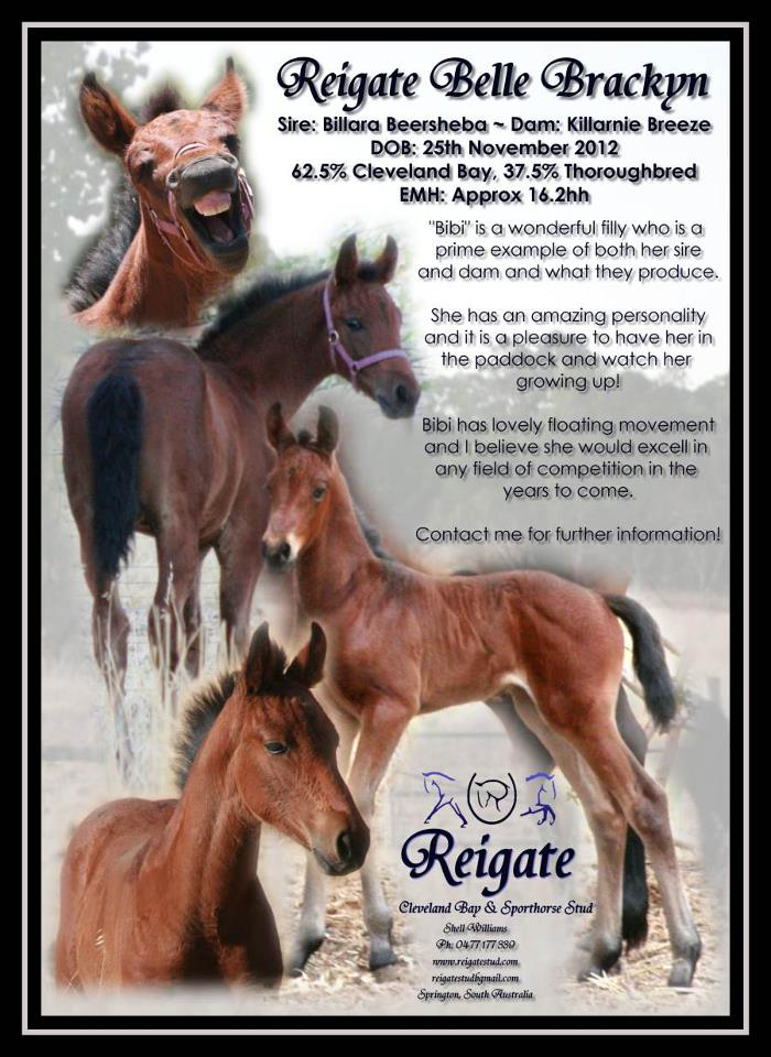 Cleveland Bay Sporthorse Fillies Available 55024110