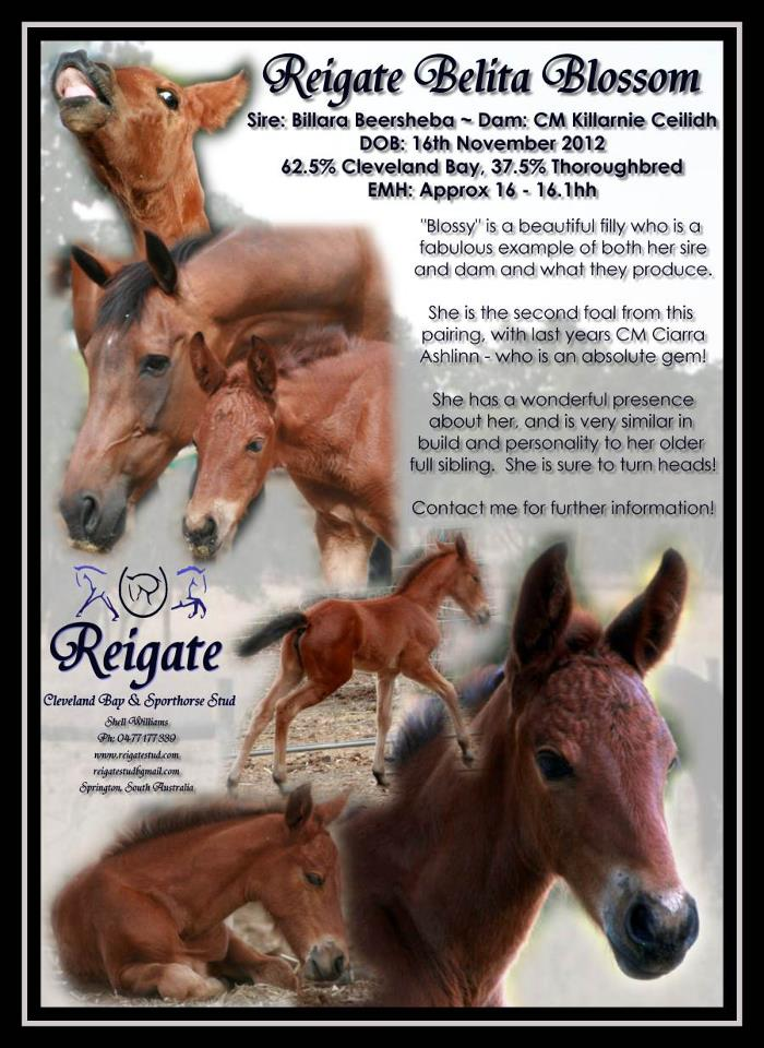 Cleveland Bay Sporthorse Fillies Available 65201_10