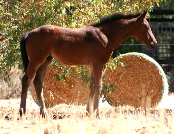 Cleveland Bay Sporthorse Fillies Available A_51910