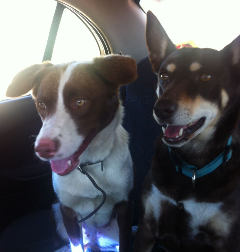 URGENT - Home required for Border Collie x Kelpie B_00110