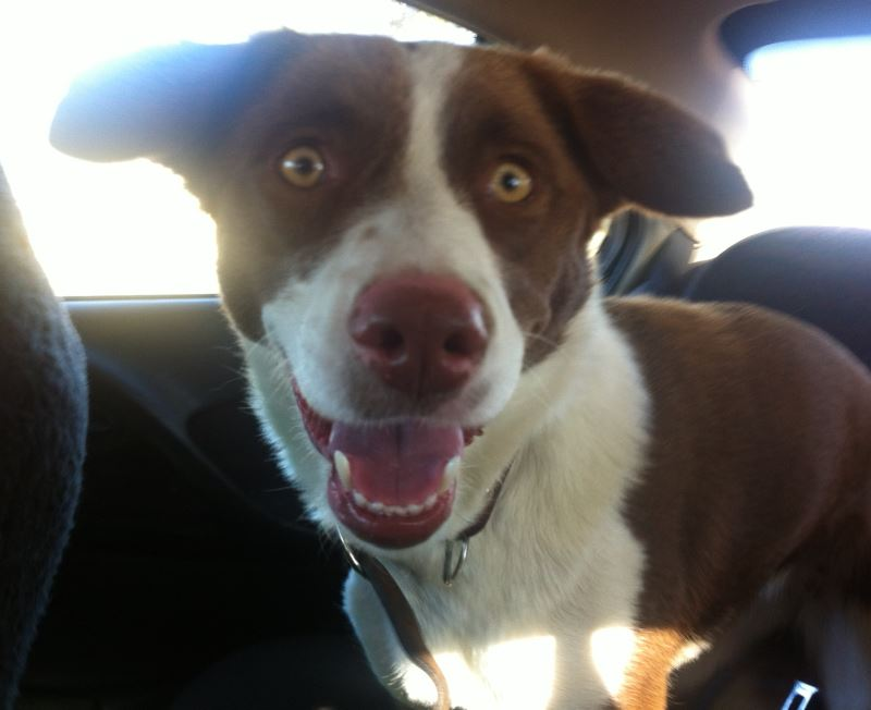 URGENT - Home required for Border Collie x Kelpie B_00410