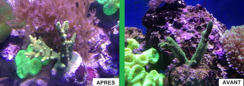 Evolution d'un de mes coraux Img_1711