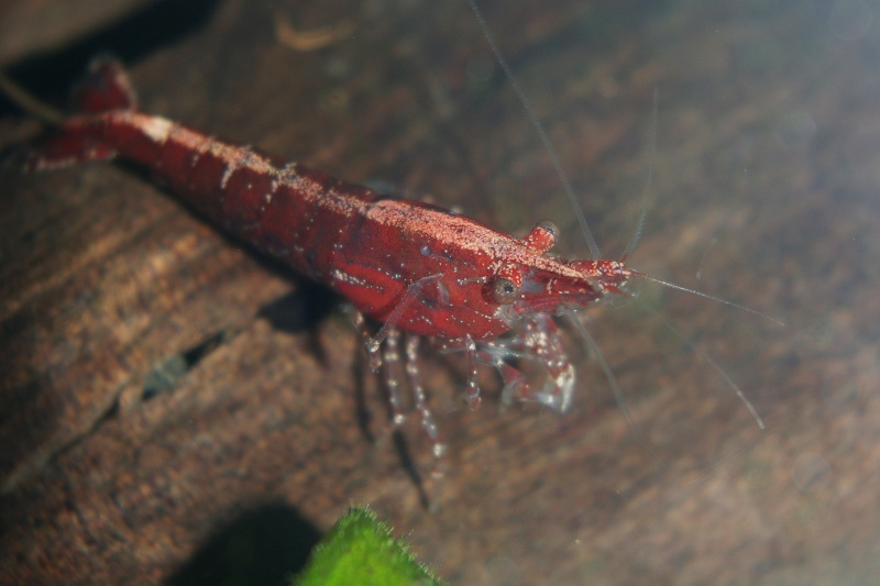 Crevettes encadrées Imgp8510