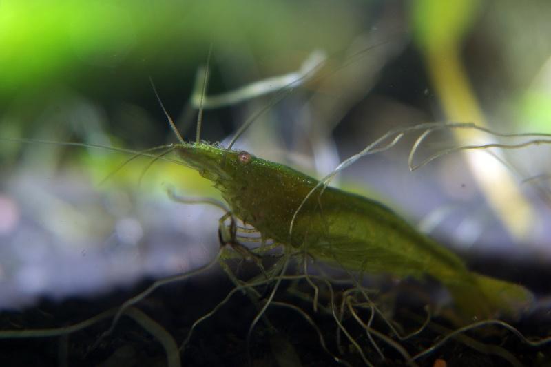 Crevettes encadrées Imgp9312