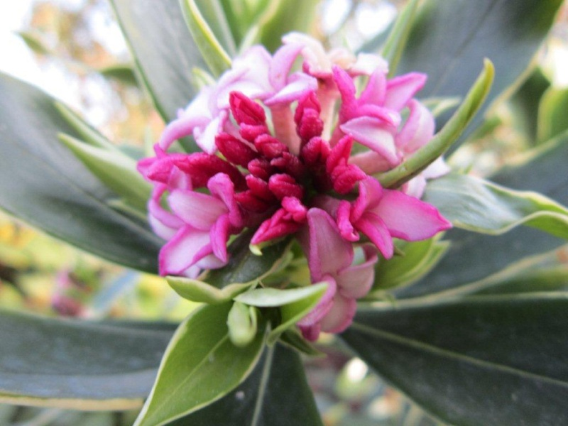 Plantes parfumées du moment Img_0010