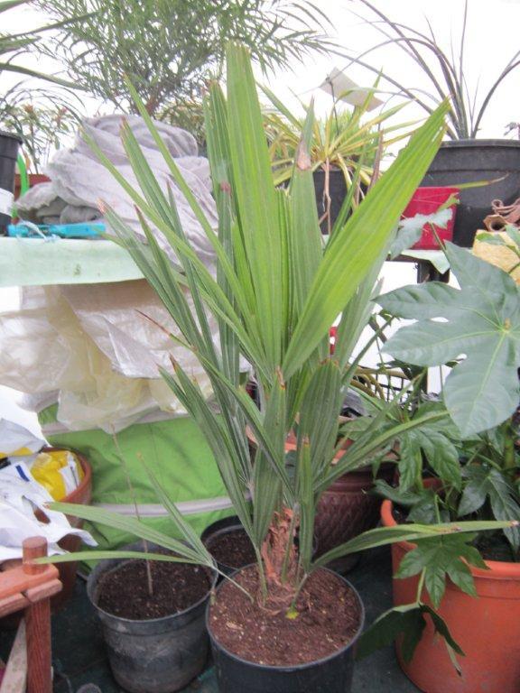 les palmiers préférés Img_1516